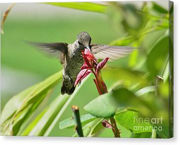 Canvas Print featuring the photograph Hummer At The Rose by Debby Pueschel