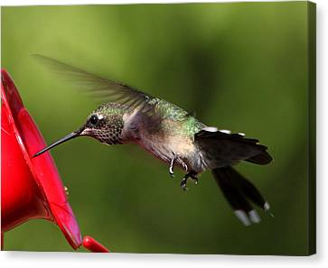 Look Hummingbird Eyelashes Canvas Print