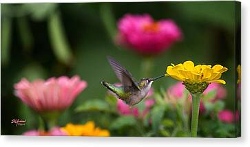 Hummer On Yellow Zinnia Canvas Print