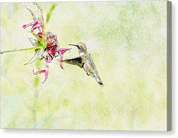 Humming Bird And Flower Canvas Print by David Stasiak