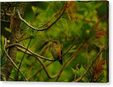 Humming Birds Perched  Canvas Print by Jeff Swan