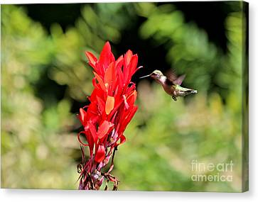 Hummingbird 1 Canvas Print