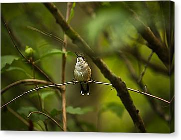 Canvas Print featuring the photograph Hummingbird 3 by Tammy Schneider