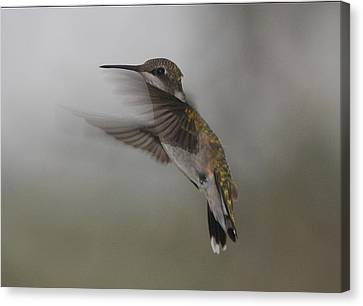 Canvas Print featuring the photograph Hummingbird 6 by Leticia Latocki