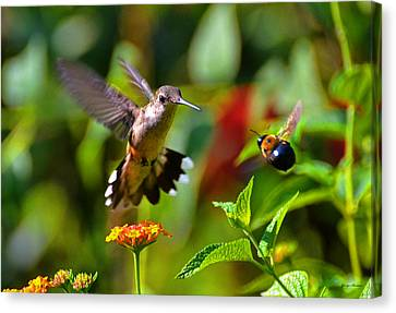 Hummingbird And A Bumblebee 001 Canvas Print
