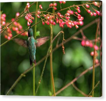 Hummingbird And Honeysuckle Canvas Print by Dan Sproul