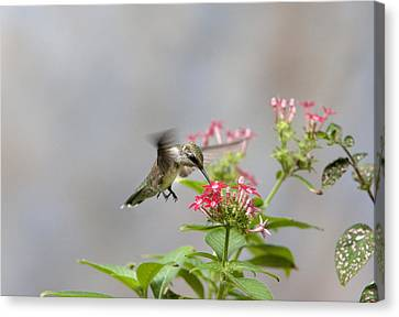 Hummingbird And Penta Canvas Print by Robert Camp