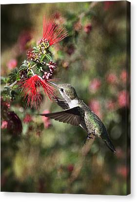 Hummingbird And The Red Feather Duster  Canvas Print by Saija  Lehtonen