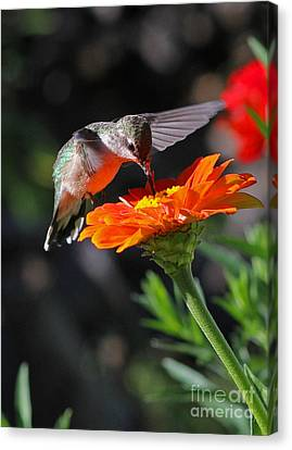 Hummingbird And Zinnia Canvas Print by Steve Augustin