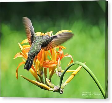 Hummingbird At Lunchtime Canvas Print by David Perry Lawrence