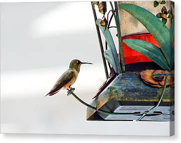 Hummingbird At Rest Canvas Print by Adria Trail
