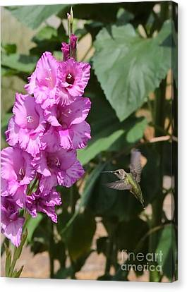 Hummingbird At The Gladiolus Canvas Print by Carol Groenen