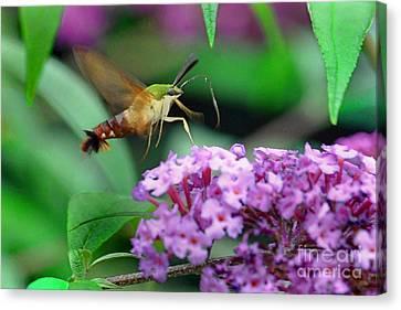 Hummingbird Clearwing Moth Canvas Print by Gary Keesler