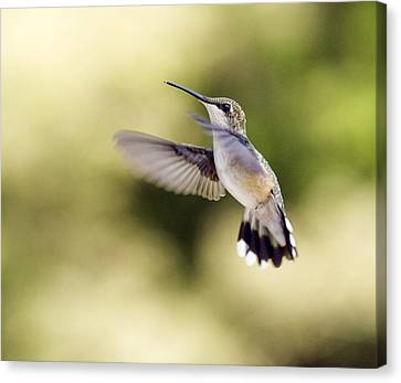 Canvas Print featuring the photograph Hummingbird by David Lester