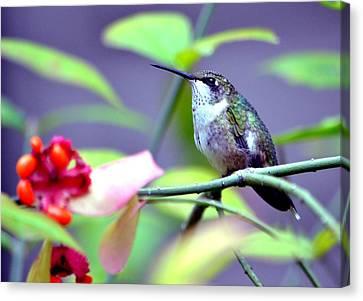Canvas Print featuring the photograph Hummingbird by Deena Stoddard