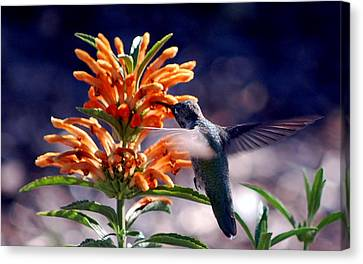 Hummingbird Delight Canvas Print