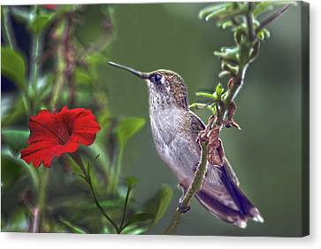 Hummingbird Delight Canvas Print by Sandi OReilly