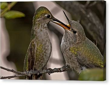 Hummingbird Feeding Baby Canvas Print by Lee Kirchhevel