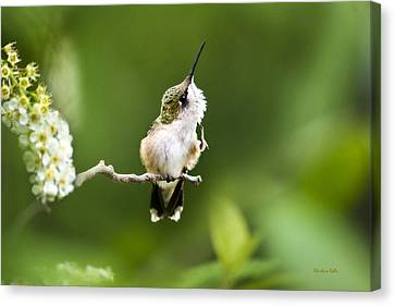 Canvas Print featuring the photograph Hummingbird Flexibility by Christina Rollo