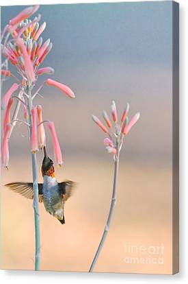 Hummingbird Flower Aloe Ruby And Blue Canvas Print