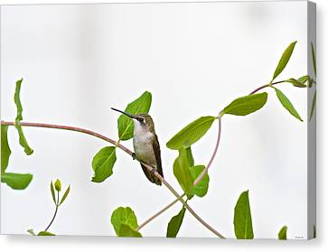 Hummingbird Hanging Out On The Honeysuckle Canvas Print