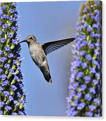 Hummingbird Hover Canvas Print by Matt MacMillan