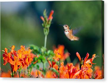 Hummingbird IIi Canvas Print