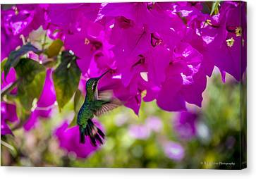 Canvas Print featuring the photograph Hummingbird In A Garden Paradise by Phil Abrams