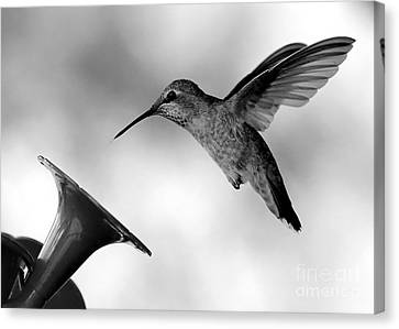Hummingbird In Black And White Canvas Print by Carol Groenen
