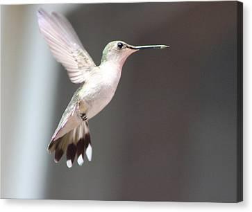 Hummingbird In Flight Canvas Print by Christine Hafeman