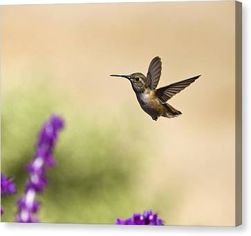 Hummingbird In Flight Canvas Print by David Millenheft