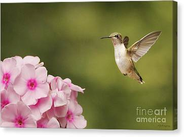 Hummingbird In Flight Canvas Print by Nancy Dempsey