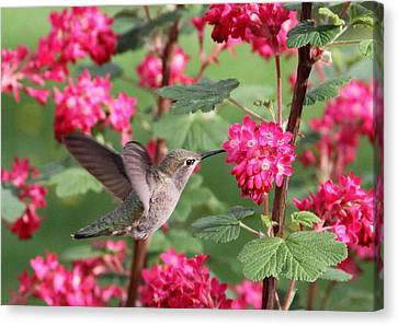 Hummingbird In The Flowering Currant Canvas Print