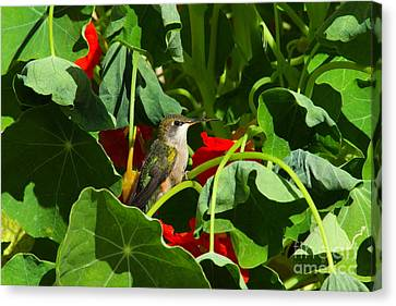 Canvas Print featuring the photograph Hummingbird In The Nasturtiums by Marjorie Imbeau