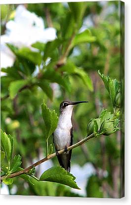 Canvas Print featuring the photograph Hummingbird by John Freidenberg