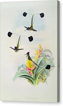 Hummingbird Canvas Print by John Gould
