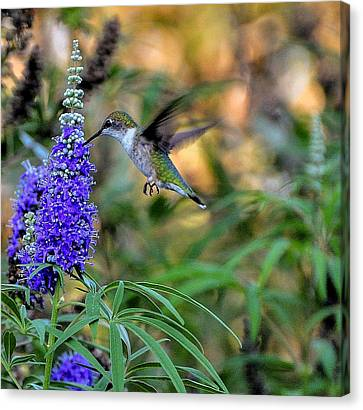 Hummingbird Canvas Print by John Johnson