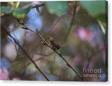 Hummingbird Canvas Print by Kevin Ashley