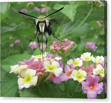 Canvas Print featuring the photograph Hummingbird Moth by Donna Brown