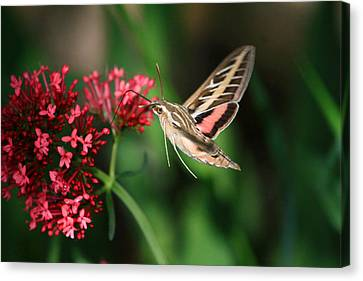 Hummingbird Moth Canvas Print by Donna Kennedy