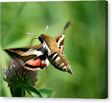 Hummingbird Moth From Behind Canvas Print by Neal Eslinger