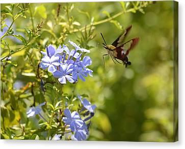 Hummingbird Moth In Flight  Canvas Print