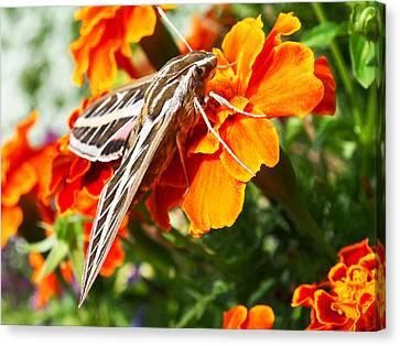 Hummingbird Moth On A Marigold Flower Canvas Print