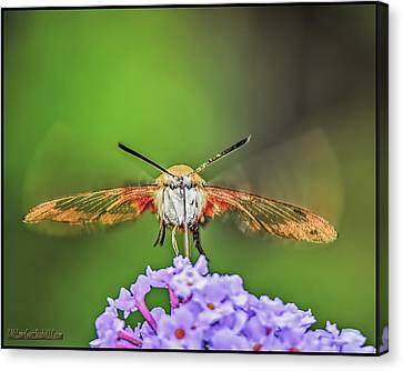 Hummingbird Moth Strike Canvas Print by LeeAnn McLaneGoetz McLaneGoetzStudioLLCcom