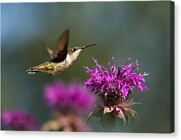 Hummingbird Moving Along Canvas Print by Christina Rollo