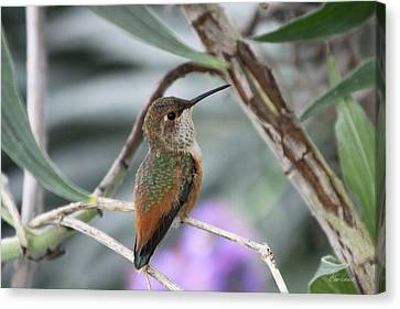 Hummingbird On A Branch Canvas Print