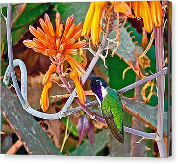 Hummingbird On Aloe In Living Desert In Palm Desert-california Canvas Print by Ruth Hager
