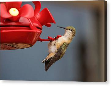 Hummingbird On Feeder Canvas Print by Alan Hutchins