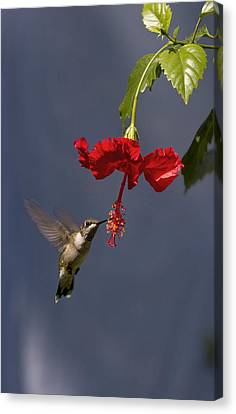 Hummingbird On Hibiscus Canvas Print by Robert Camp