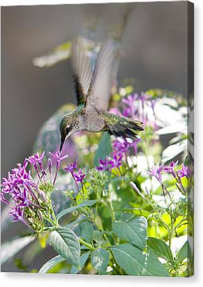 Hummingbird On Penta Canvas Print